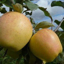 Яблоня Рижский Голубок (полу-карликовый подвой)