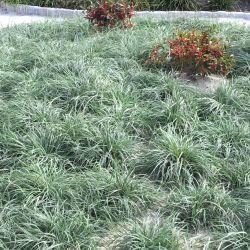 "Осока ""Блю Зингер"" (Carex flacca 'Blue Zinger')"