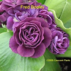 Fred Booley (PRIMULA auricula Fred Booley)