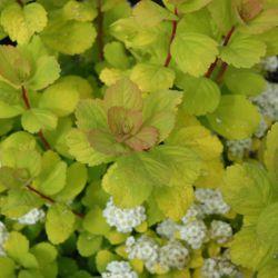 Спирея березолистная 'Tor Gold' (Spiraea betulifolia 'Tor Gold')