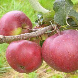 Яблоня Антей(полу-карликовый подвой)
