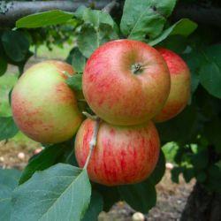 Яблоня Пирья (полу-карликовый подвой)