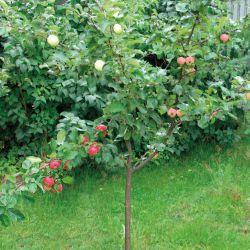 Яблоня-сад.3 разных сорта на одном дереве (карликовый подвой)