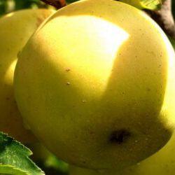 Яблоня Теллисааре (полу-карликовый подвой)