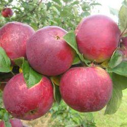 Яблоня Орлик (полу-карликовый подвой)