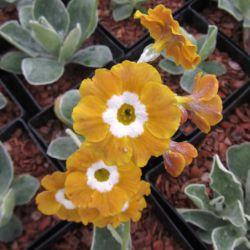 Old Mustard (Primula auricula 'Old Mustard')