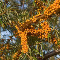 "Облепиха ""Фрисдорфер Оранж"" (Hippophae rhamnoides ""Friesdorfer Orange"" Голландия)"