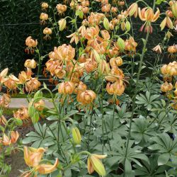 Peppard Gold