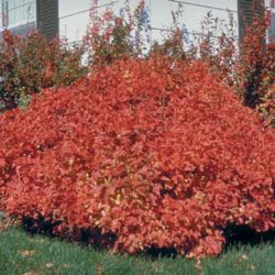 "Калина трёхлопастная ""Spring Red Compact"""