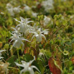 Горянка крупноцветковая разн. хигоэнзе (Epimedium grandiflorum var. higoense)