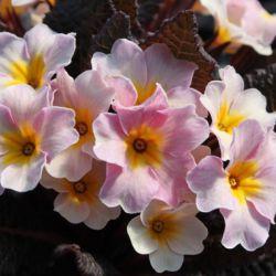 Примула обыкновенная 'Avoca' (Primula vulgaris 'Avoca')