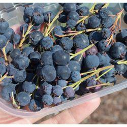 Ирга крупноплодная Нортлайн (канадской селекции) (Amelanchier alnifolia Northline Финляндия)