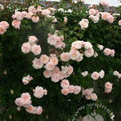 Rose de Tolbiac (Германия)