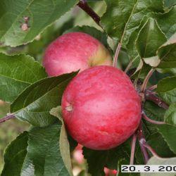 Яблоня Суйслепское (Малиновка)