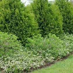 Рябина черноплодная 'UCONNAM012' Revontuli Spreader (Aronia melanocarpa 'UCONNAM012' Revontuli Spreader Финляндия)