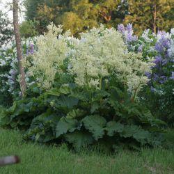 """Ревень садовый """"Виктория"""" (Rheum hybridum """"Victoria"""" Финляндия)"""