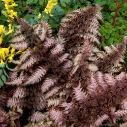Кочедыжник Burgundy Lace