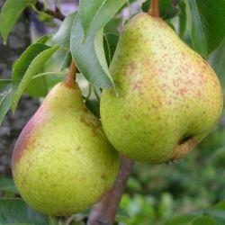 Августовская груша
