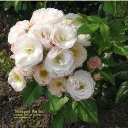 Bouquet Parfait (Lens)