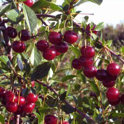"Вишня ""Кармин Джюэл"" (Prunus ""Carmine Jewel"" Финляндия)"