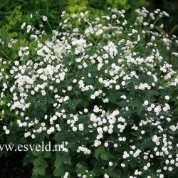 """Лютик аконитолистный """"Пленифлорус"""" (Ranunculus aconitifolius 'Pleniflorus')"""
