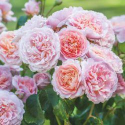 Английские розы DAVID AUSTIN из Голландии 2022 год.