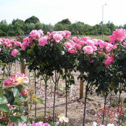 Штамбовые розы на 2021 год.