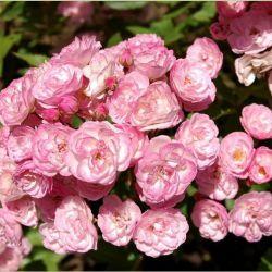 Розы из голландских питомников 2021 год.