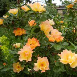 Канадские розы из питомника Blomqvist Plantskola 2021 год.