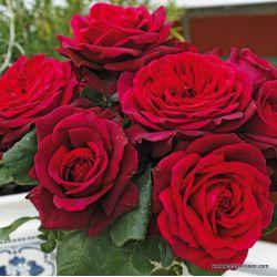 Оригинальные Розы Кордес  2021 г.
