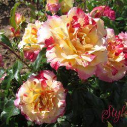 Розы в контейнерах от разных авторов 2021 год.