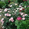 Английская роза James Gallway