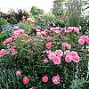 Mein Schoener Garten (Кордес)