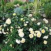 Ангийская роза Teasing Georgia
