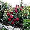 Английская роза L.D.Braitwait