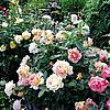 Розы Дельбара