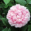 JACQUES CARTIER (Damask Perpetual)