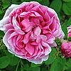 """Rosa X centifolia cristata 'Chapeau de Napoleon"""""""