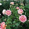 Ангийская роза Jubilee Celebration.