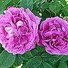 "Hybrid Perpetual""Reine des Violettes"""