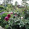 Английская роза Falstaf