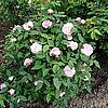 Старинная дамасская роза Jacques Cartier