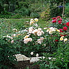 Английская роза Charles Austin