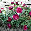 Ангийская роза W.Shakespeare 2000