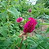 Пролиферация (прорастание цветка, закончившего развитие, с образованием нового цветка или соцветия)