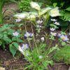 Ветреница пиковолистная ( Anemone trullifolia )