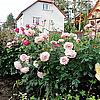 Английские розы A Shropshire Lad.