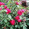 Ангийская роза Benjamin Britten