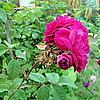 Пролиферация цветка.